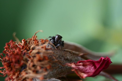 Day 197...2008...Jumping Spider...