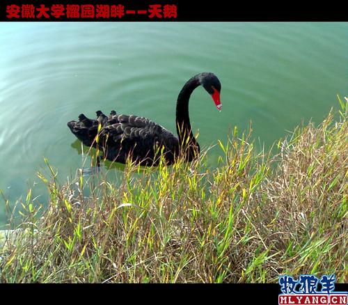 安徽大学榴园湖畔天鹅_11