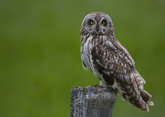 "Short-eared Owl - Asio flammeus photo by Gregory ""Slobirdr"" Smith"