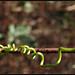 Passiflora Tendril - קנוקנת שעונית
