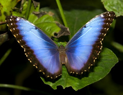 Blue Morpho Butterfly photo by Theresa Elvin