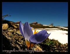 Crocus at Snowy Mountain photo by voyageAnatolia.blogspot.com