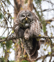 Great Gray Owl photo by Canonshooterman