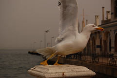 Seagull of Buyukada - ready for take off photo by Brahte