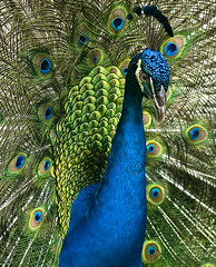 Peacock photo by stboed