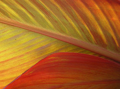 Light through the leaves (Canna sp.) photo by Butterfly Psyche