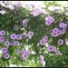 Ipomoea cairica - לפופית כפנית