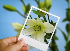 Polaroid lilies photo by louisahennessysuɹoɥƃuıʞıʌ