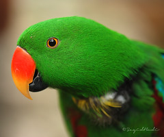 Green Parrot (Eclectus Parrot) photo by Sayid Budhi