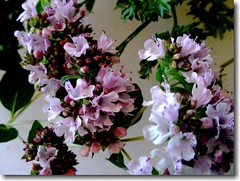 Oregano Flowers photo by Baha'i Views / Flitzy Phoebie