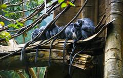 silvered leaf monkeys photo by alan shapiro photography