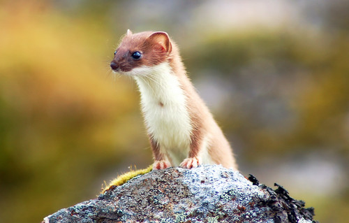 2978331541 4f3a8435dc Weasel: Native American Animal Totem