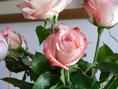 roses 1 photo by sodaro,k