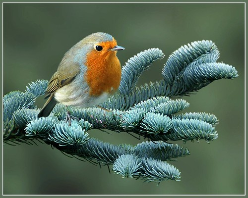 Robin on blue cedar