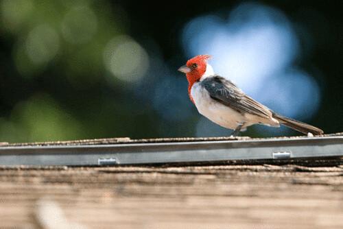 cardinal.gif