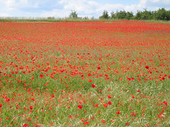 Poppy field in France (Explore) photo by jgg35