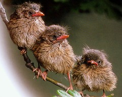 baby robins photo by coral.hen4800