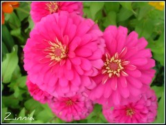 Happy..Sweet..Pink...Flowers for You photo by Thai Jasmine (Smile..smile...Smile..)