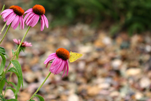 Day 189...2008...Echinacea ~ Coneflower