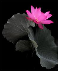 Flower / Lotus Flower / Pink Flower / pink /  - زهرة اللوتس, ハスの花, 莲花, گل لوتوس, Fleur de Lotus, Lotosblume, कुंद, 연꽃 photo by Bahman Farzad