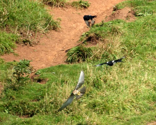 Magpies bullying Kestrel