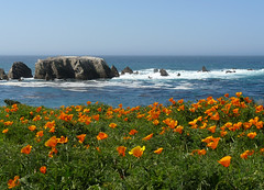 Poppies - Point Buchon photo by docentjoyce
