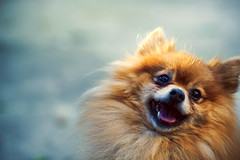 The Happiest Pomeranian photo by SHUN [iamtekn]