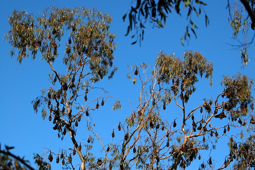 Fruit bats at Yarra Bend Park Melbourne