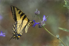 Butterfly Art [Explored #26 June 9th, 2011] photo by Wild Wings Photography