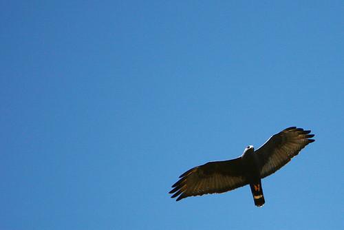Day 128...2008 .falcon? hawk? eagle? kite?.