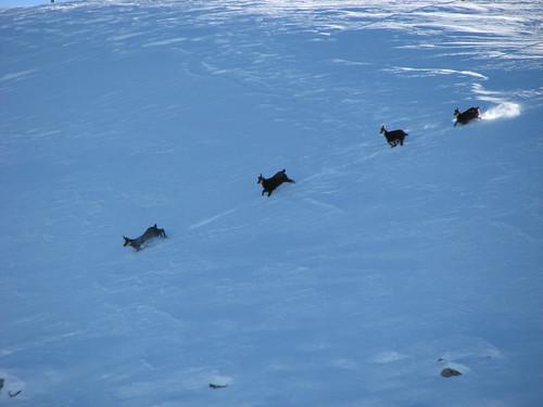 Herd of Chamoix