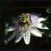 Passiflora caerulea - שעונית כחולה