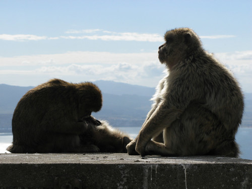 Barbary apes philosophise their role in the world