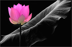 Pink Lotus Flower - IMG_8097 - , ハスの花, 莲花, گل لوتوس, Fleur de Lotus, Lotosblume, कुंद, 연꽃, photo by Bahman Farzad