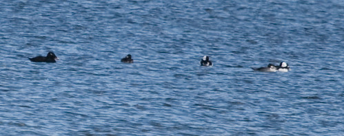 White-winged Scoter and friends