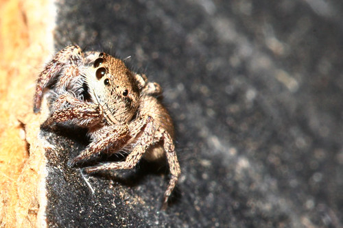 Day 206...2008...Salticidae/Jumping Spider