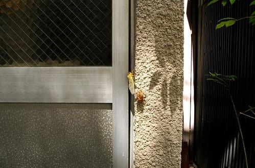 emergence : cicada
