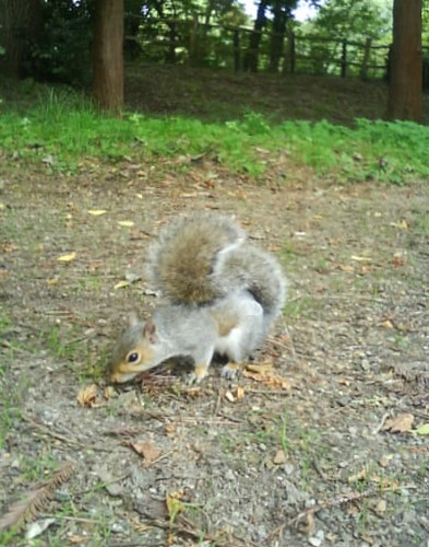 Squirrel in Hampden Park