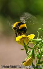 Bumblebee photo by voyageAnatolia.blogspot.com