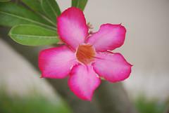 Pink Desert Rose