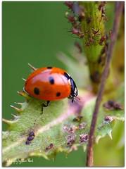 Ladybug... photo by Flutterbye_856