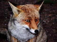 Fox in the night ( Back in few days) photo by guarda