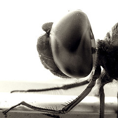 libélula / dragonfly