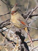 The wild Pyrrhuloxia counts