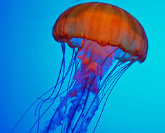 Pacific Sea Nettle photo by StGrundy