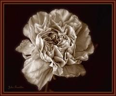 Carnation photo by bonksie61