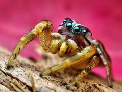 Adult Male Jumping spider (Pelegrina pervaga) photo by Thomas Shahan