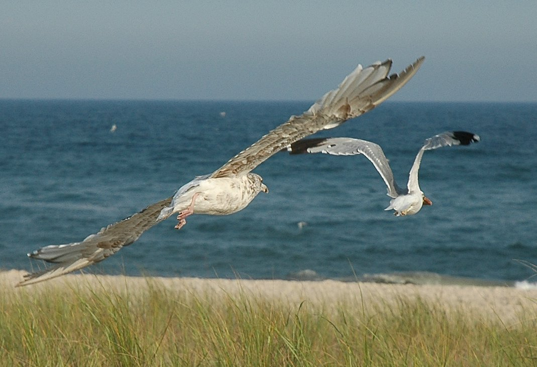 American Herring Gulls in flight