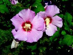 Rose of Sharon Lavender