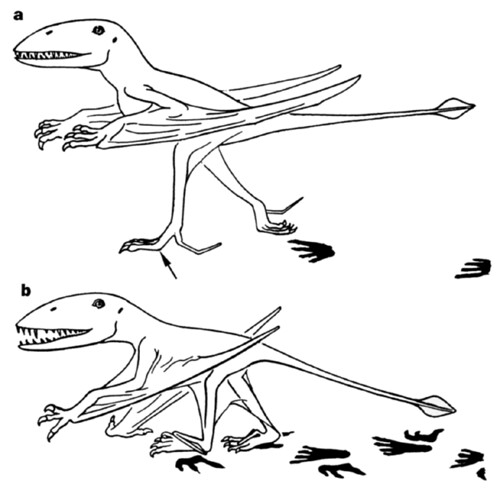 pterosaur gait interpreted from trackways